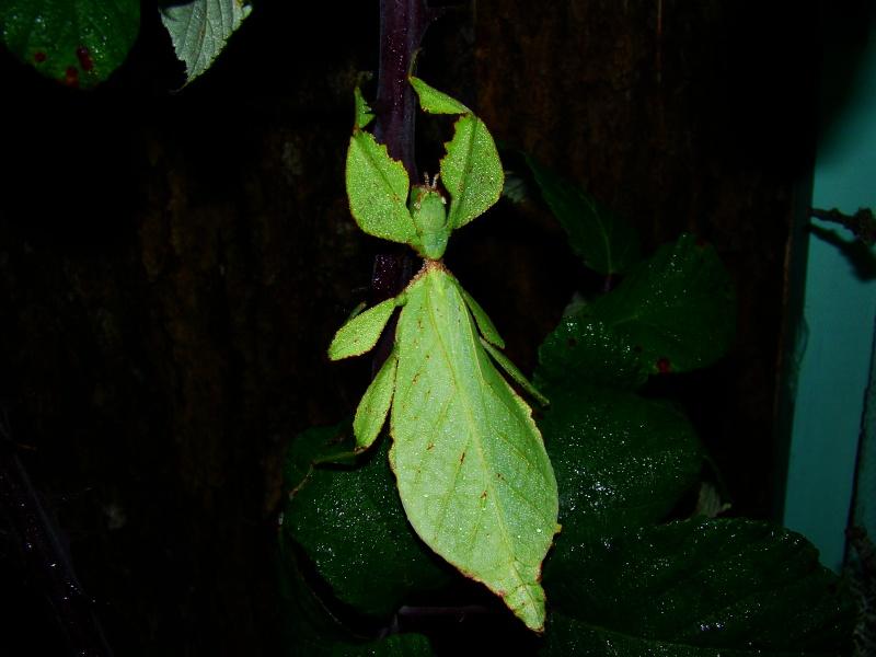 Phyllium westwoodii (celebicum) ( PSG 128) Photo216
