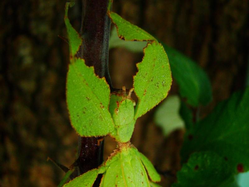 Phyllium westwoodii (celebicum) ( PSG 128) Photo217