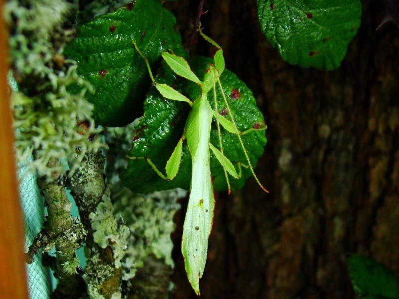 Phyllium westwoodii (celebicum) ( PSG 128) Photo218