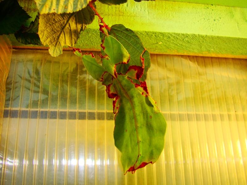 Phyllium giganteum (PSG 72) Photo226