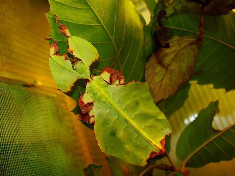 Phyllium giganteum (PSG 72) Photo227
