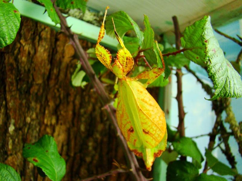 [Phyllium philippinicum (PSG 278)] Photo228