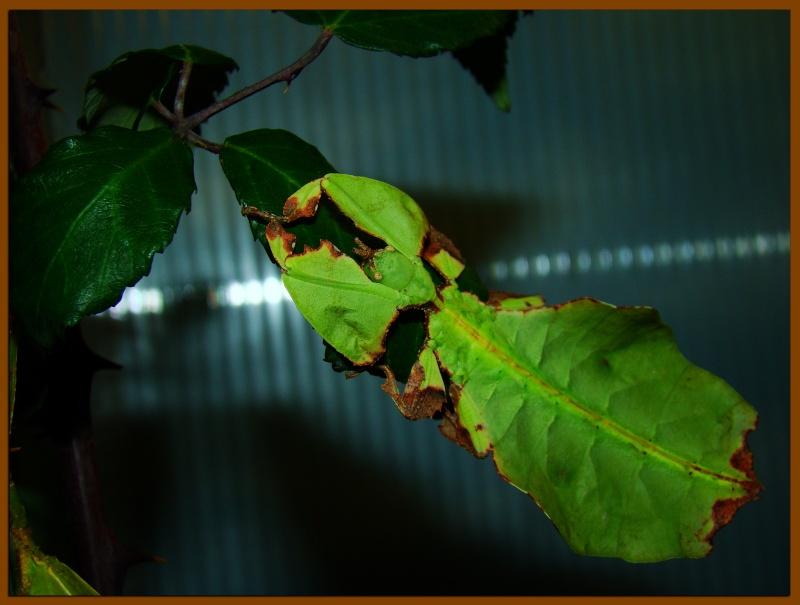 Phyllium giganteum (PSG 72) Photo273