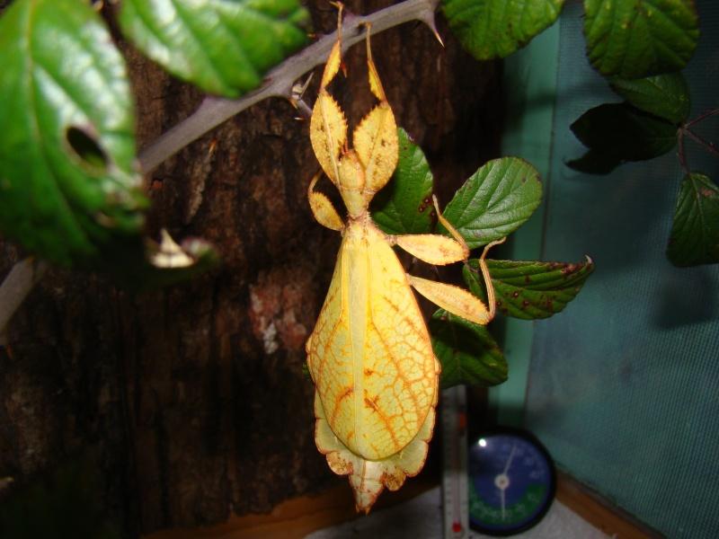 [Phyllium philippinicum (PSG 278)] Photo_14