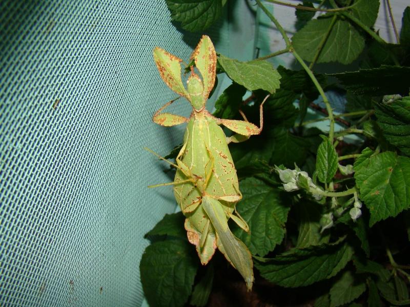 [Phyllium philippinicum (PSG 278)] Photo_15