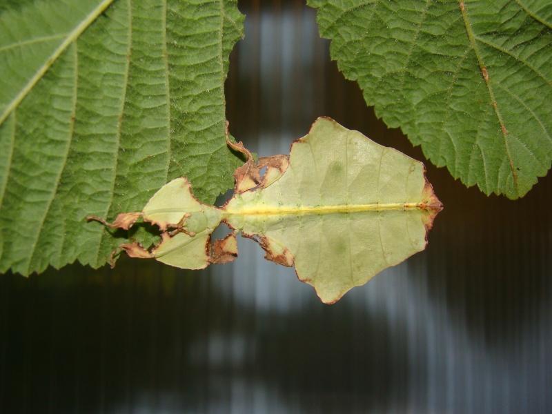 Phyllium giganteum (PSG 72) Photo_27