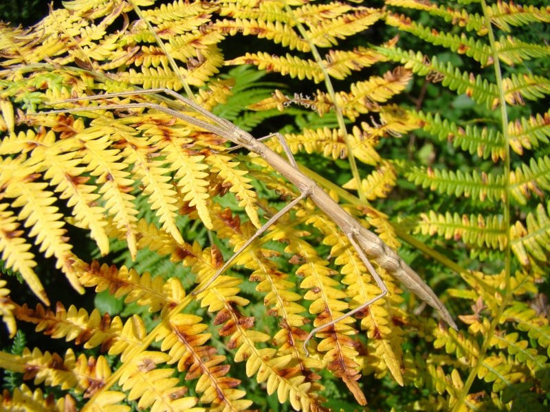 Clonopsis galica (psg 45) Photo_70