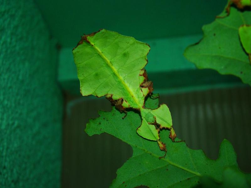 Phyllium giganteum (PSG 72) Photo_78