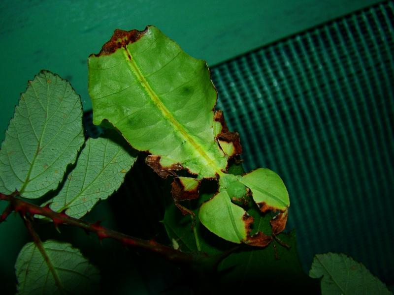 Phyllium giganteum (PSG 72) Photo_83