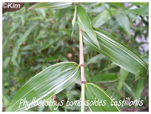 Nouveaux bambous Phyllo10