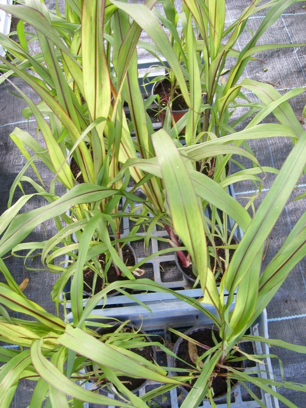Pennisetum glaucum 'Purple Majesty' Semis_10