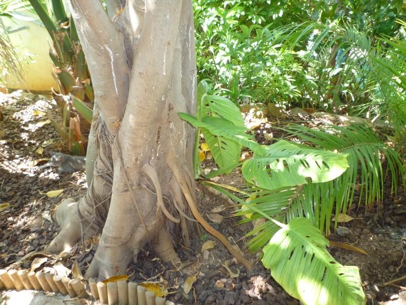 Aralia Reticula dans jardin Varois Ficus_11