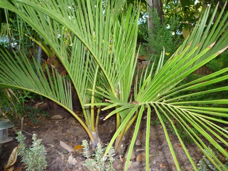 Chambeyronia Macrocarpa, côte varoise Jubaeo10