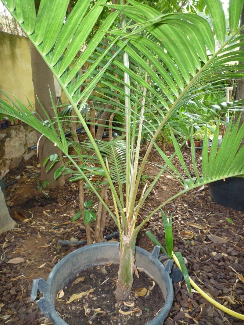 Chambeyronia Macrocarpa, côte varoise Laccos10