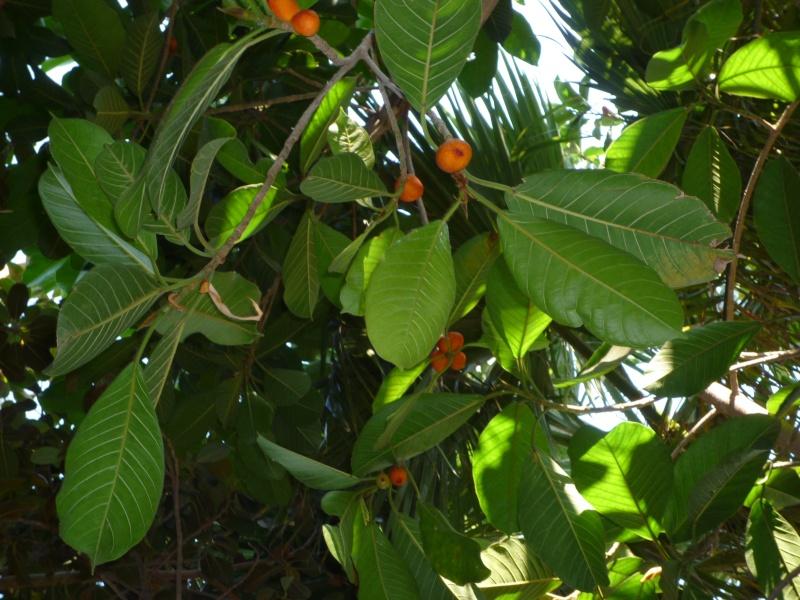 Ficus Benghalensis dans jardin du Var P1000210