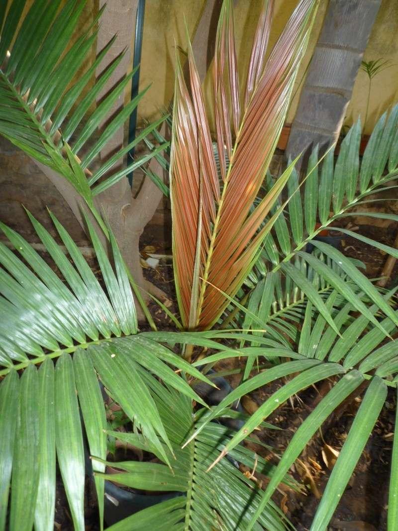 Chambeyronia Macrocarpa, côte varoise P1000214