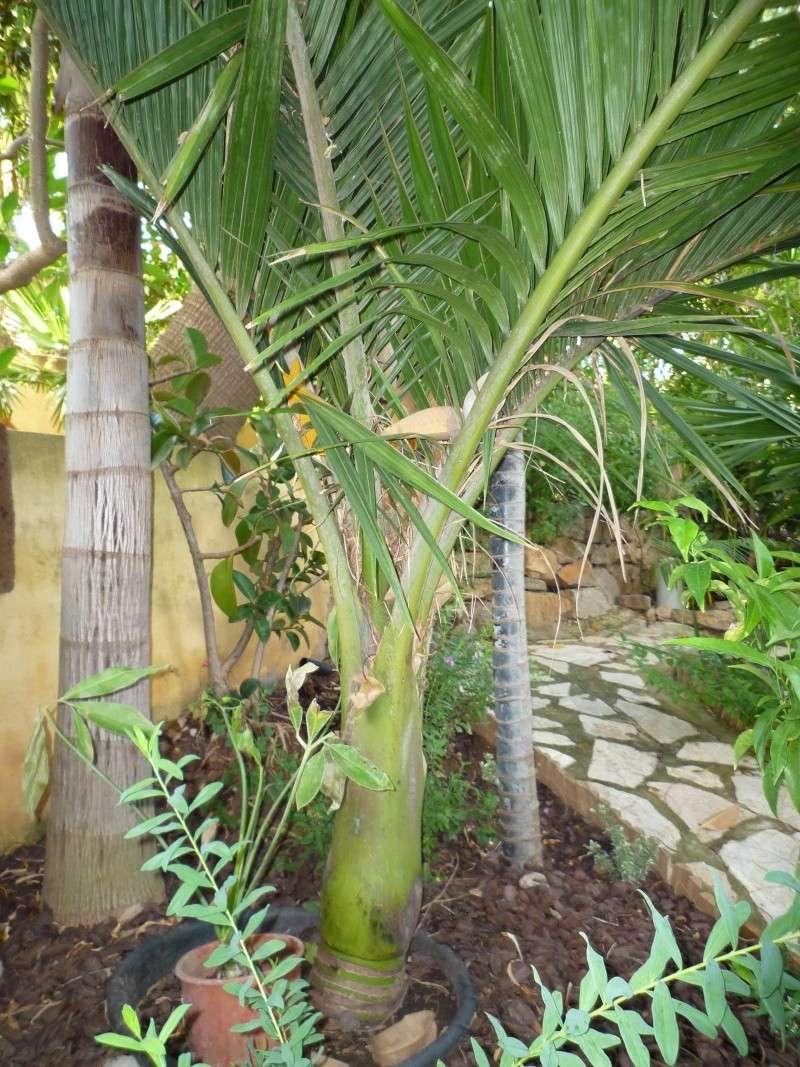 Chambeyronia Macrocarpa, côte varoise Rhopal10