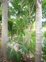 Aralia Reticula dans jardin Varois Aralia10
