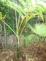 Chambeyronia Macrocarpa, côte varoise Chambe16