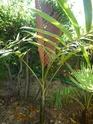 Chambeyronia Macrocarpa, côte varoise Chambe17