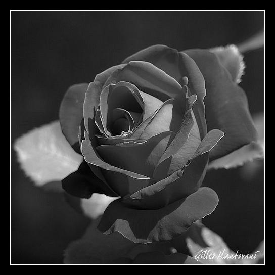 Rose... Red_ro10