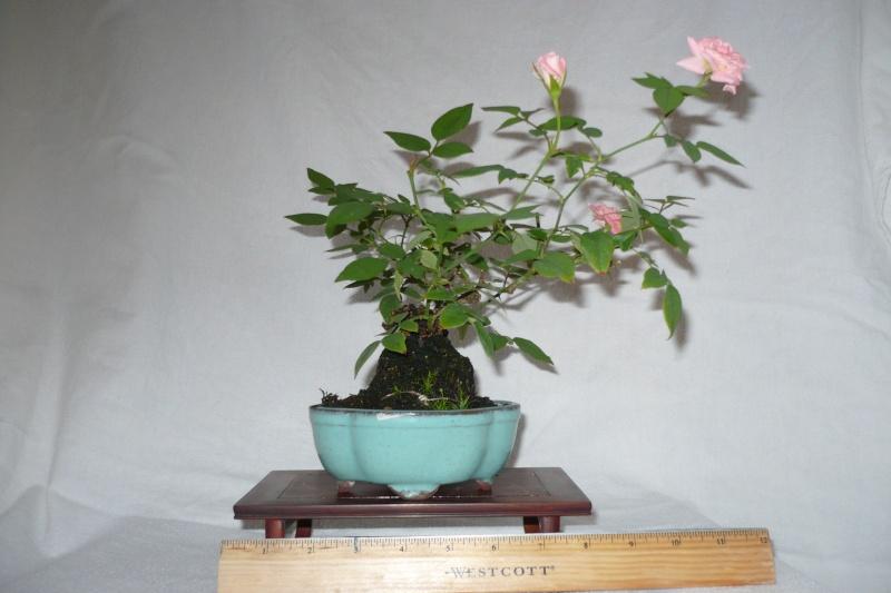 Rose Bonsai P1020611