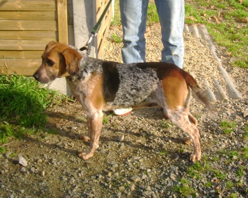 ZINA, croisée beagle de 4-5 ans - Romagné (35) Zina10