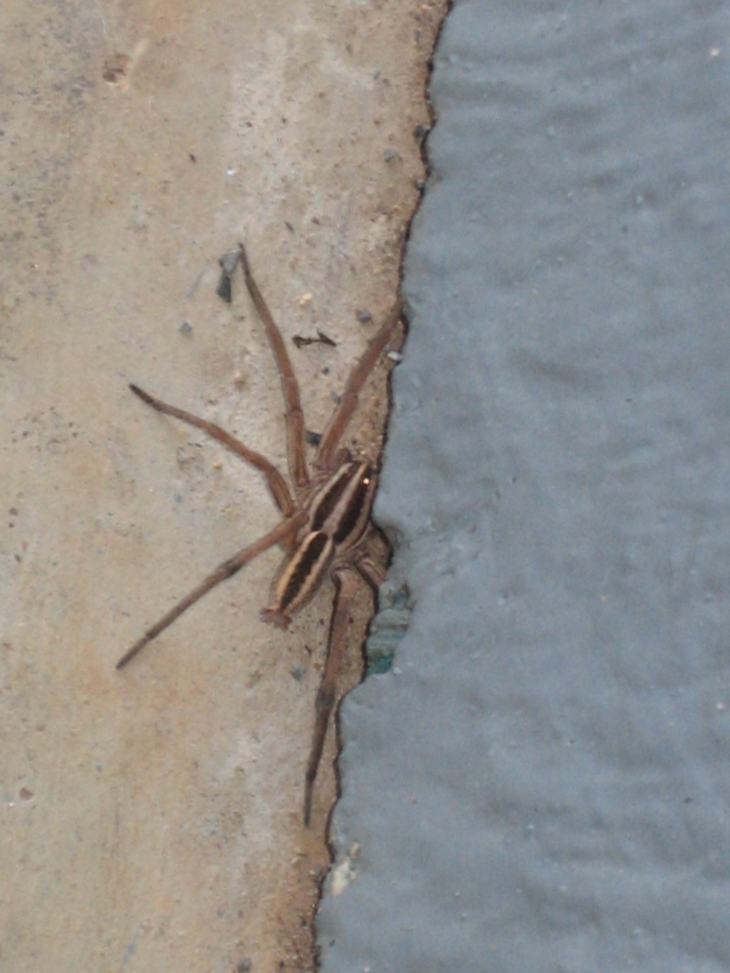 Is this a brown house spider? 00410