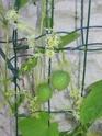 Cyclanthera brachystachya, concombre explosif! Img_0010