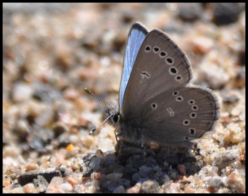 Bleu argenté mâle Dsc_0615