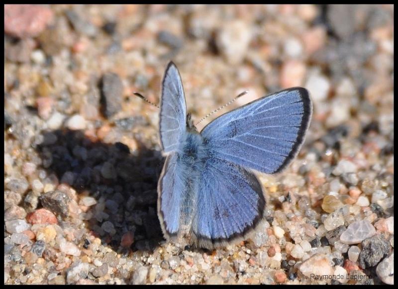Bleu argenté mâle Dsc_0616