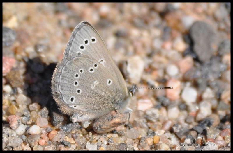 Bleu argenté mâle Dsc_0710
