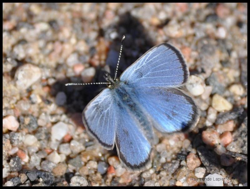 Bleu argenté mâle Dsc_0711