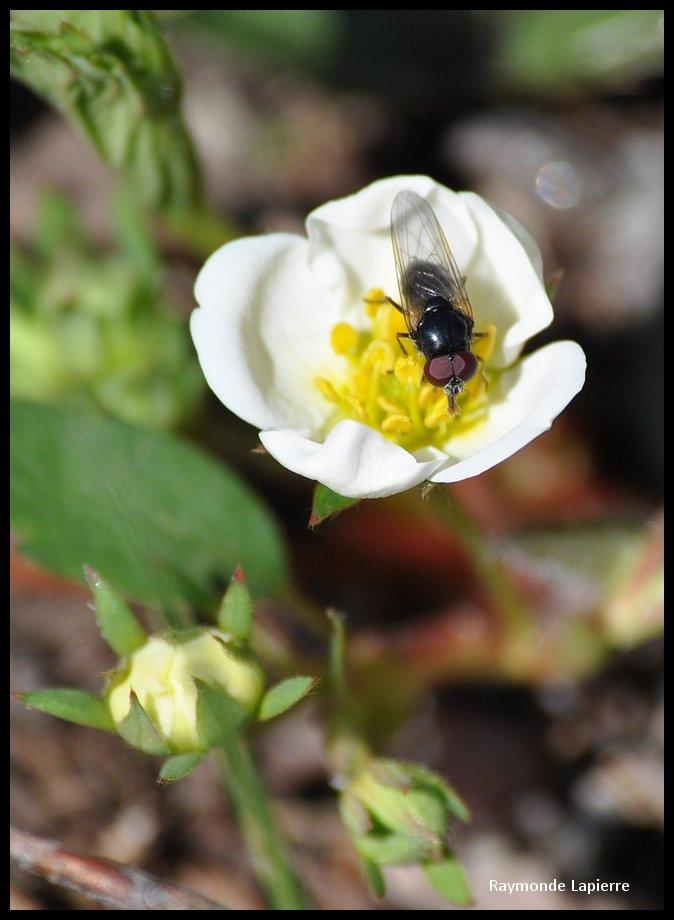 mouche du printemps Dsc_0916