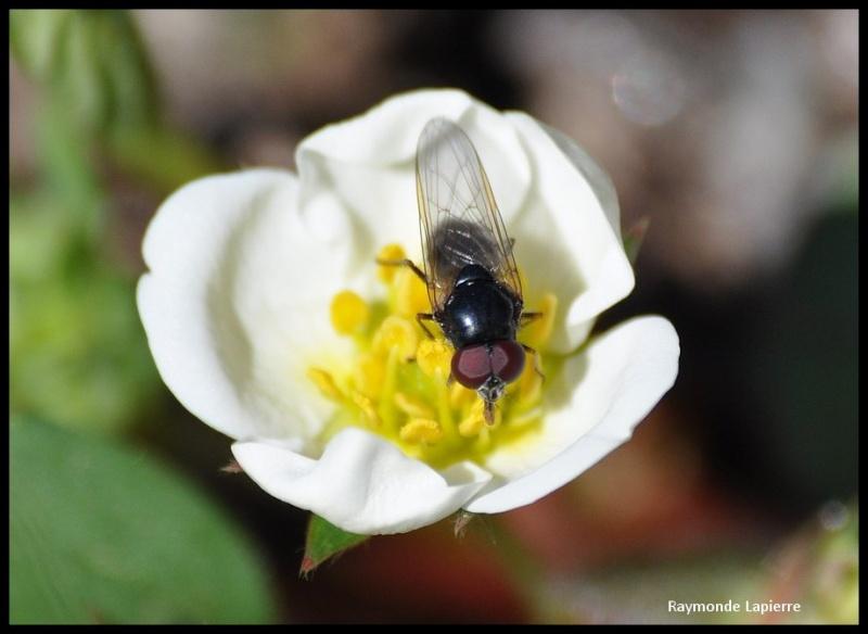 mouche du printemps Dsc_0917