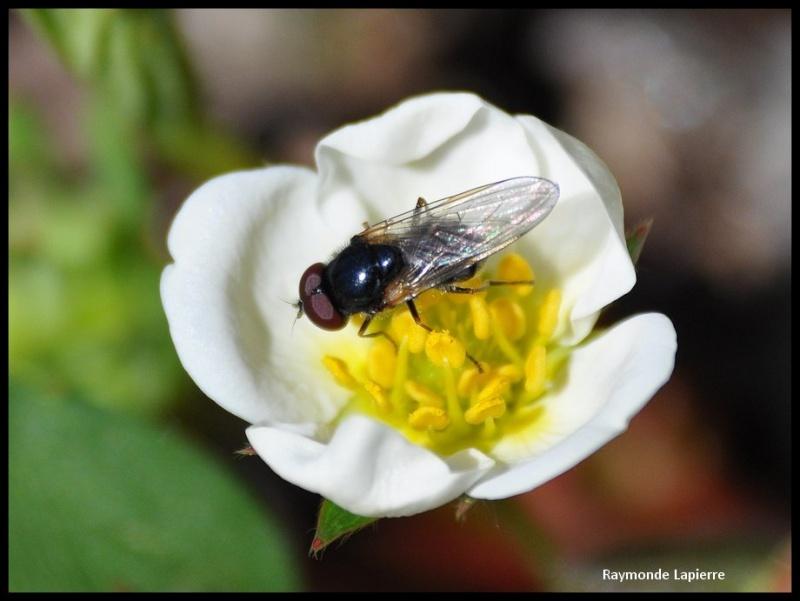 mouche du printemps Dsc_0918