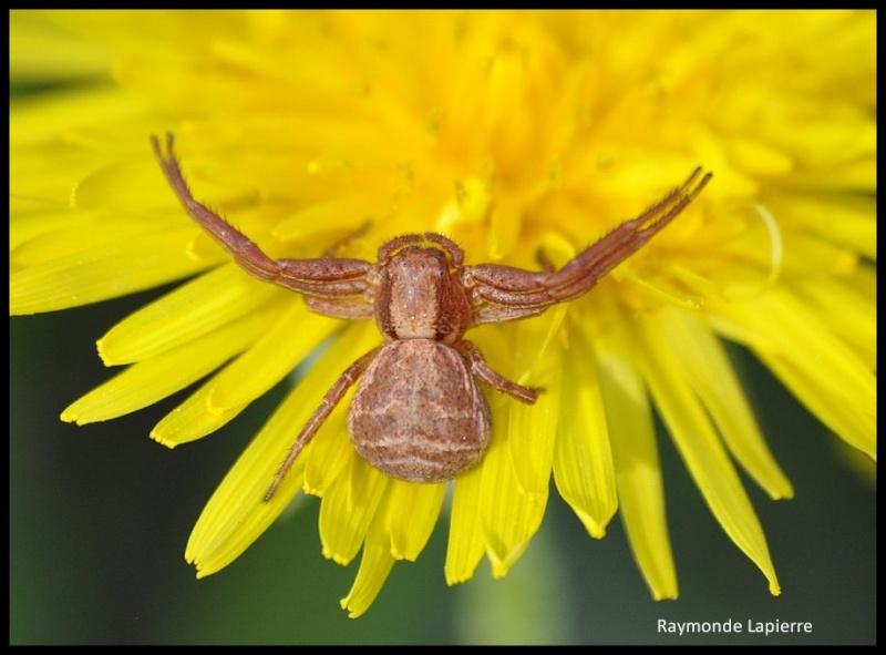 Araignée-crabe Dsc_1310