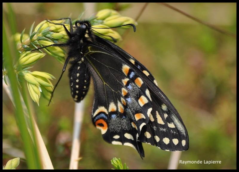 Papillon queue-courte--papilio brevicauda Dsc_1610
