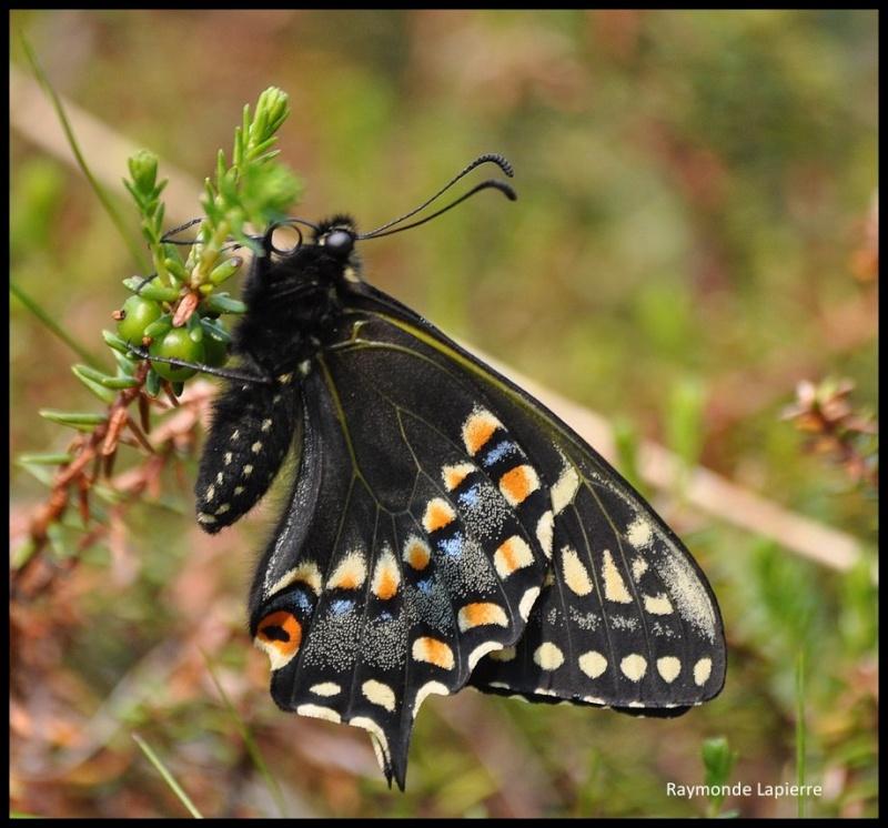 Papillon queue-courte--papilio brevicauda Dsc_1611