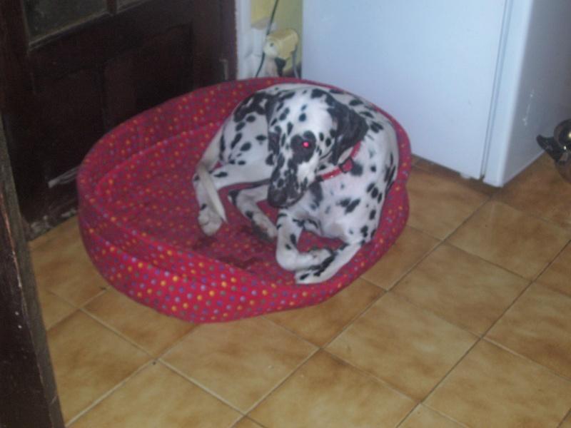 Daisy dalmatien F 1 ans (45)dalmasf 100_2611