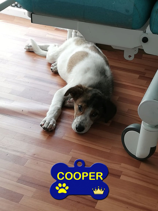 COOPER/MALE/5 MOIS /TAILLE MOYENNE A GRANDE ADULTE  Cooper11