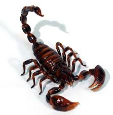 ANIMAL TOTEM  Scorpi10