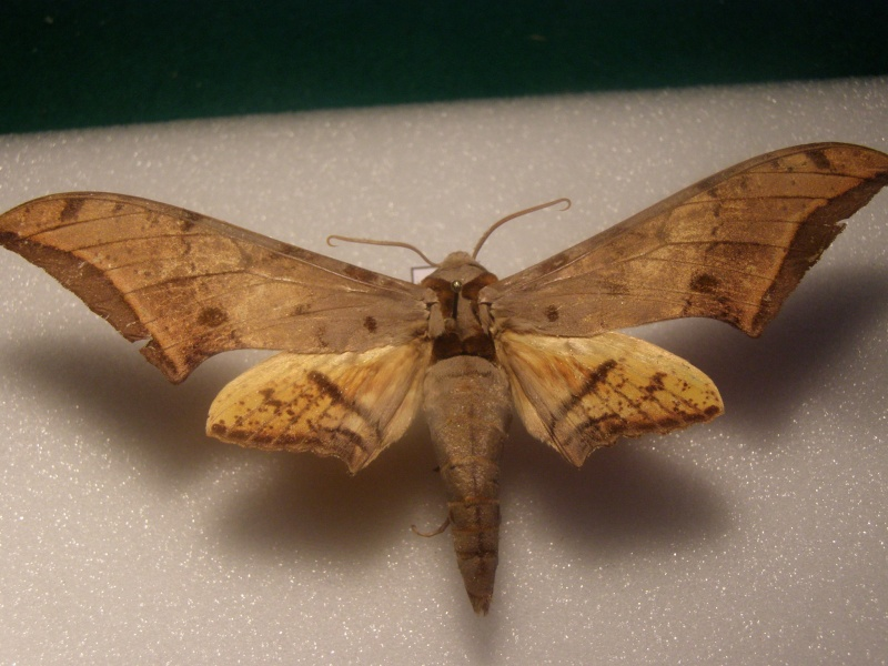 [Ambulyx joiceyi]Papillon de Malaisie N° 9 Pb040032