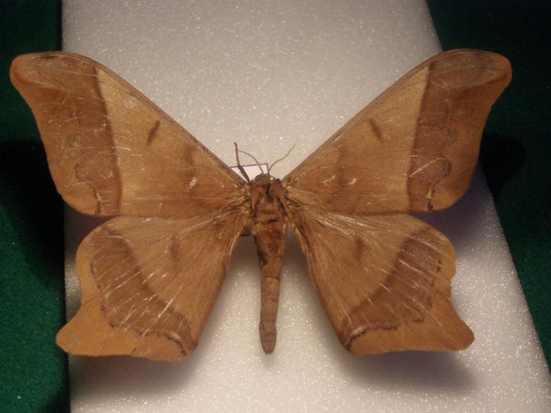 Papillon du Perou N°4 Pb040036