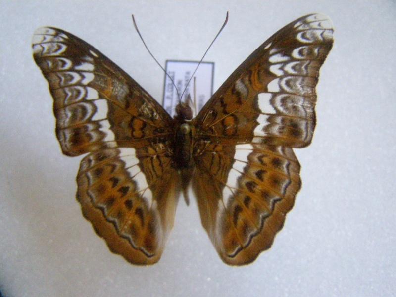 [Lebadea martha]Papillon de Malaisie N° 18 Pb070020