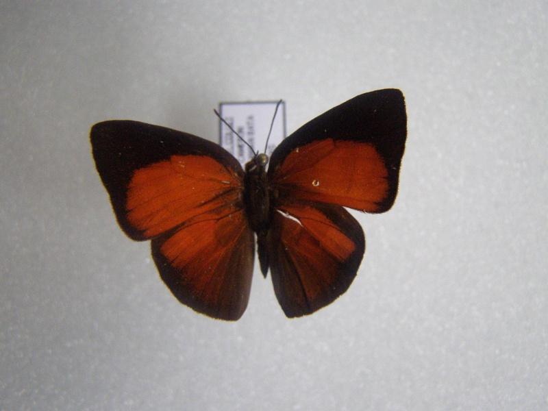 Papillon du Perou N°9 Pb070023