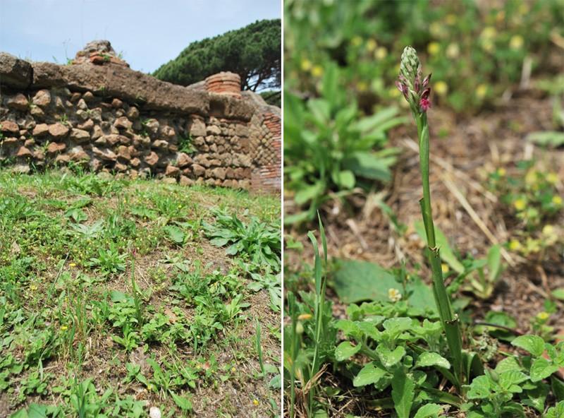 Une orchidée à Ostie Corio110
