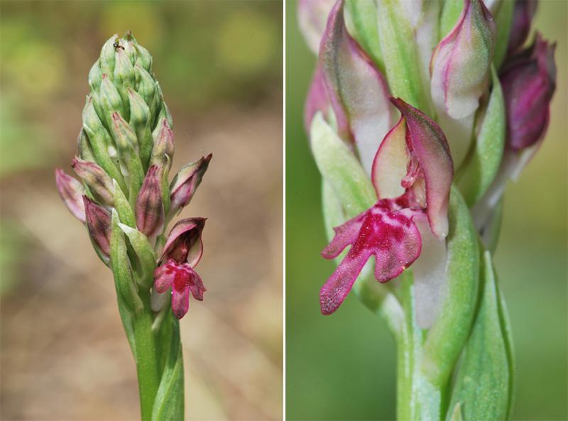 Une orchidée à Ostie Corio210