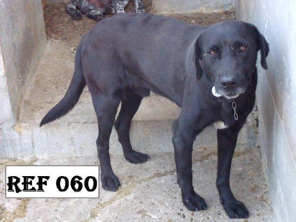 """Lalo petit labrador noir """"60"""".Au refuge de Filémon - Amiens (80) 60_lab10"""