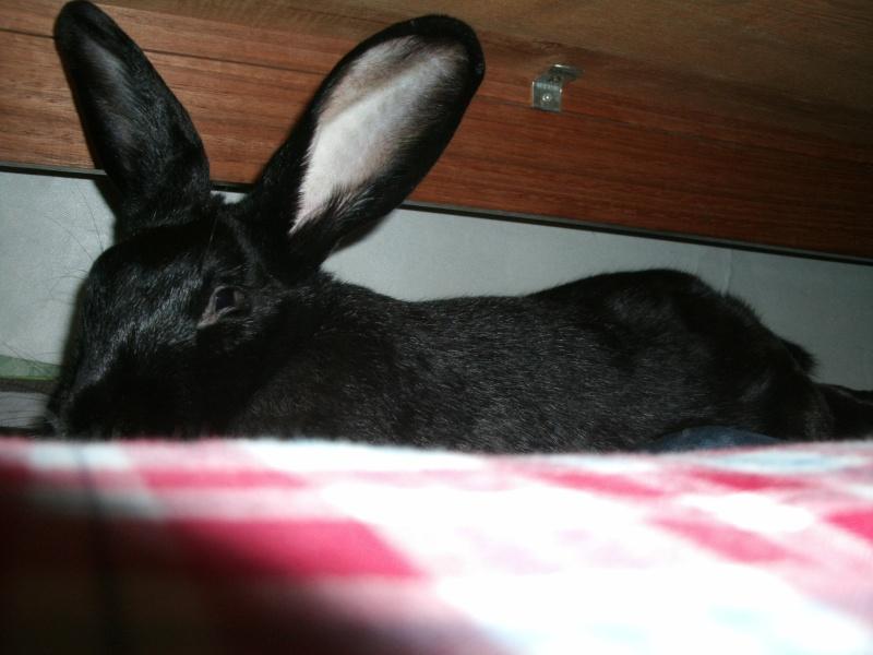 Edenne, belle lapine noire grand gabarit (association Poil de Carotte) 59 Gedc0316